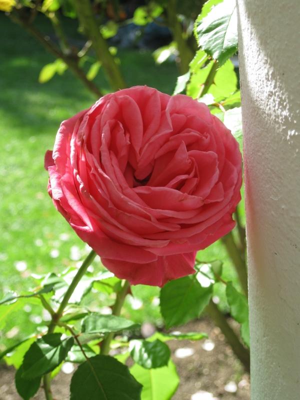 Pergola » Archive du blog » Roses d\'octobre, jardin, 2013