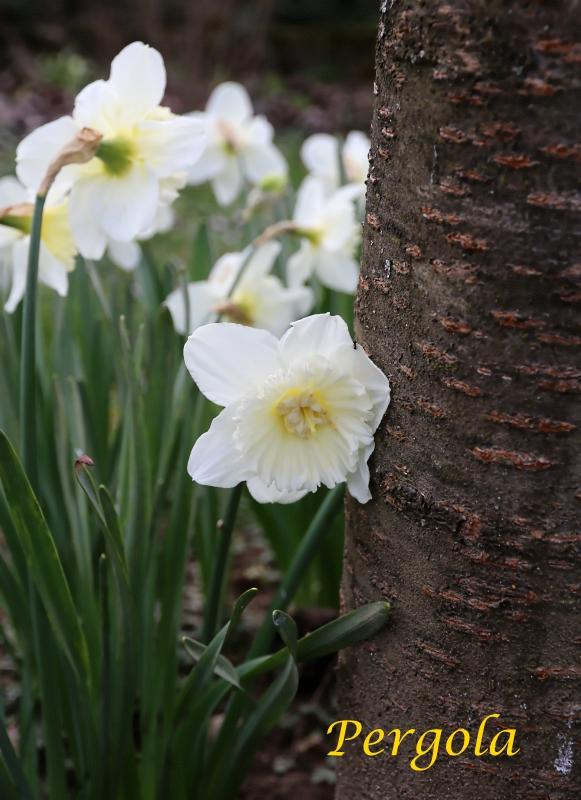 pergola » archive du blog » jonquilles, jardin avril 2016